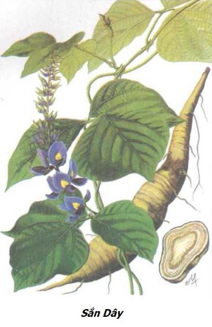 Sắn Dây - Pueraria thomsoni - Nguyên liệu làm thuốc Chữa Cảm Sốt