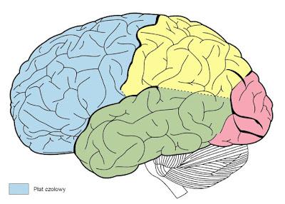 Lobes of the brain - Uszkodzenie płatów czołowych (1) - informacje ogólne