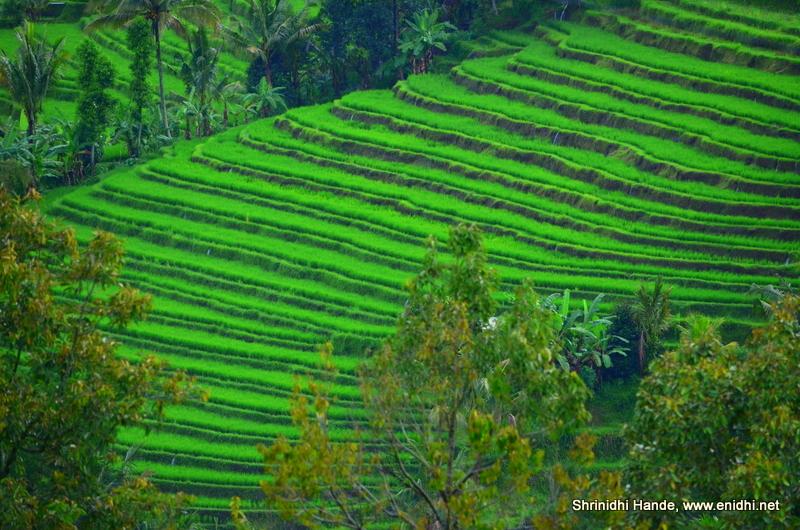 Best Rice Terrace Experience Jatiluwih Rice Terrace Bali Enidhi