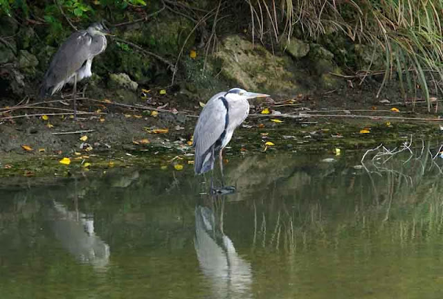 Grey Herons reflect on water