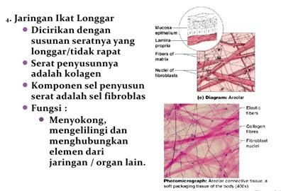 jaringan ikat longgar