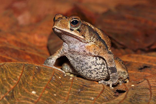 Incilius melanochlorus - Wet Forest Toad