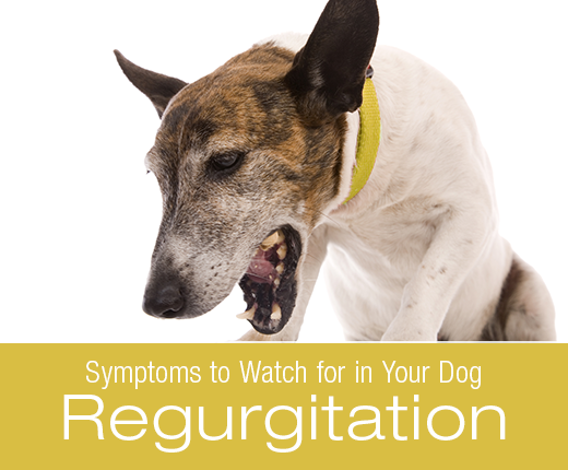 Symptoms To Watch For In Your Dog: Regurgitation