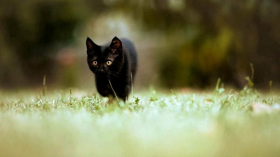 Cat hd wallpaper 14