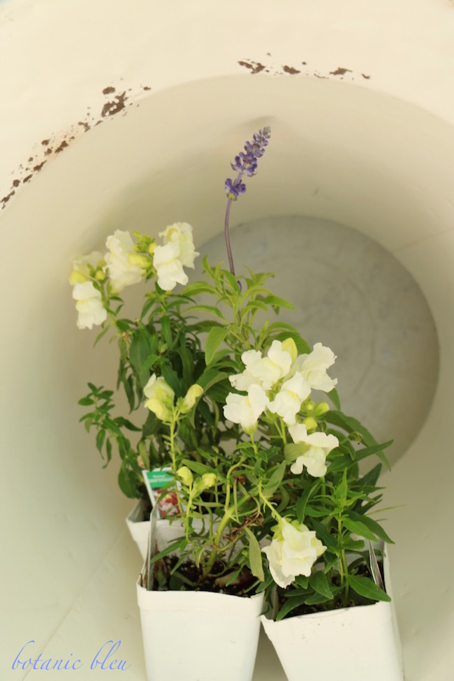 white-snapdragons-and-blue-sage-inside-white-chippy-french-style-metal-urn