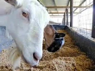 patokan pemberian  Pakan dan minum pada kambing dan domba