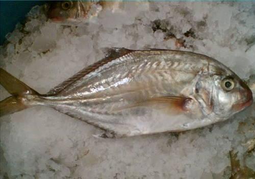 Jenis Ikan Konsumsi Air Tawar Beserta Gambarnya