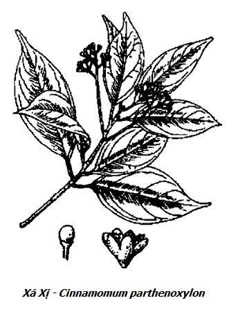 Hình vẽ Xá Xị - Cinnamomum parthenoxylon - Nguyên liệu làm thuốc Chữa Tê Thấp và Đau Nhức