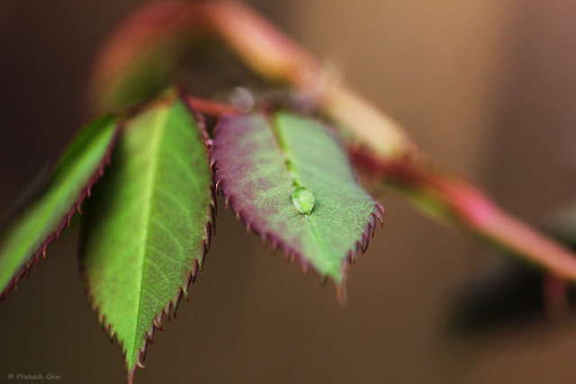 A Minimalist Photo of Sole Water Droplet On Rose Plant Leaf