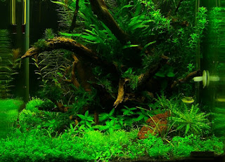 Jenis Tanaman Karpet Aquascape Christmas Moss