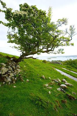 A tree growing from the side of a grass covered hill by a path leading to the ocean