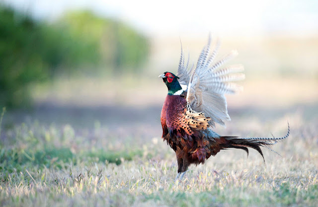 Pheasant - Facts, information and pictures 1