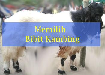 Ternak Kambing, Cara memilih bibit kambing yang baik, tips memilih kambing betina untuk indukan, ciri-ciri kambing jantan yang sehat, ciri kambing betina yang sehat, tips berternak kambing,