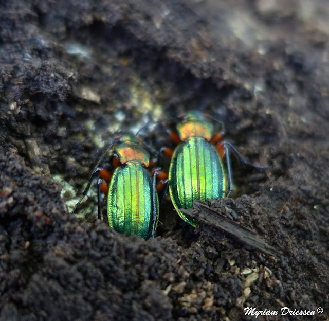 carabe carabus auronitens festivus