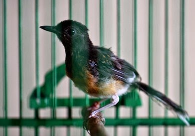 merupakan salah satu jenis penyakit yang paling sering menyerang burung kicauan Tips Jitu Mengatasi Penyakit Kutu Pada Burung Kicauan