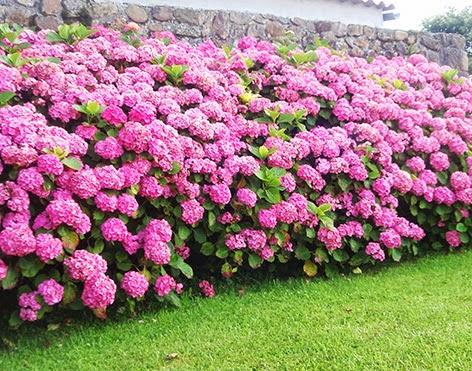 Parterre de hortensiasd