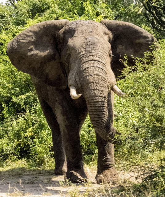 Elephant in Queen Elizabeth National Park in Uganda