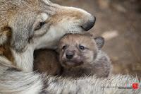 Fur-Ever Wild Wolf Cub