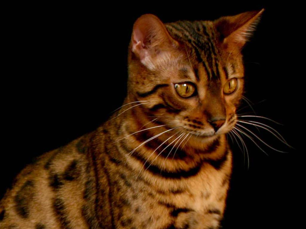 You may not Believe Your Eyes If You Adhere to This Advice bengal_cat_pretty_wallpaper