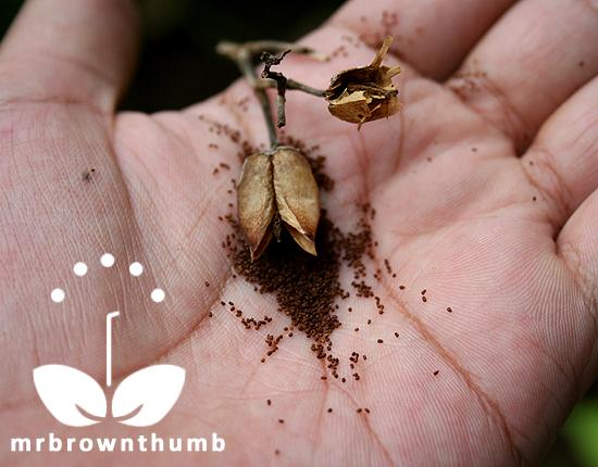 Saving Nicotiana Seeds : MrBrownThumb