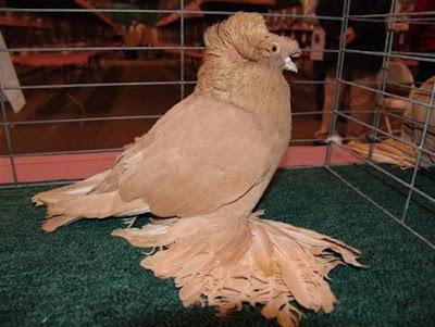 english - pigeons fall-Tambour Anglais