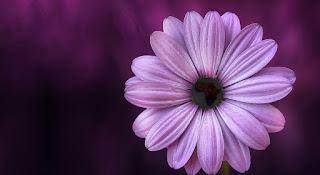 Flower of Africa