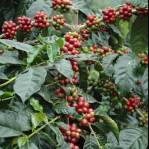 bisnis berkebun kopi