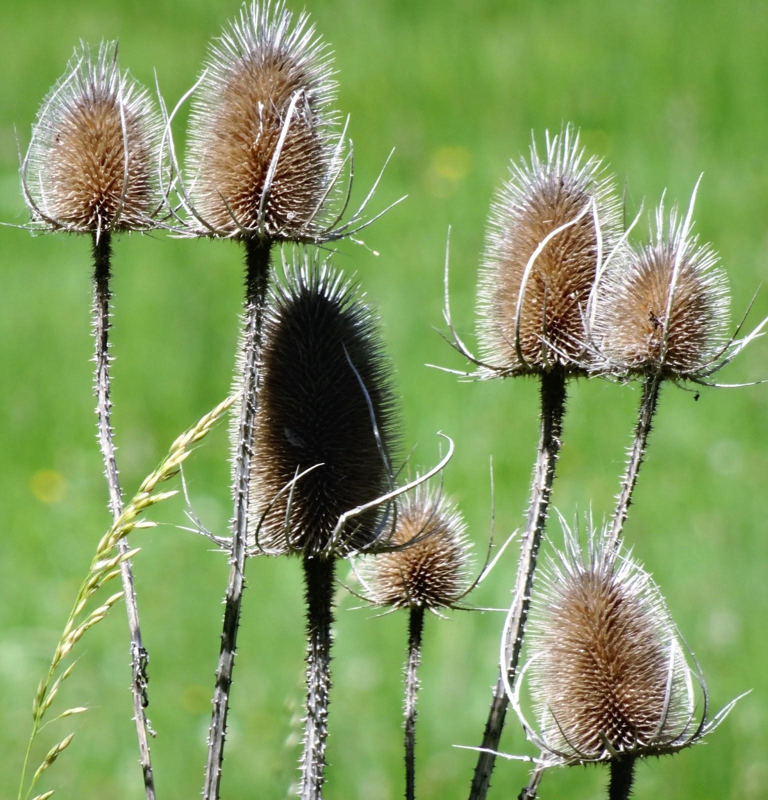 Les chardons les fleurs d 39 hy res et d 39 aujourd 39 hui - Le chardon d ecosse ...