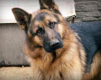 K9 Alman kurt köpeğinin anlamlı ve ilginç bakışları