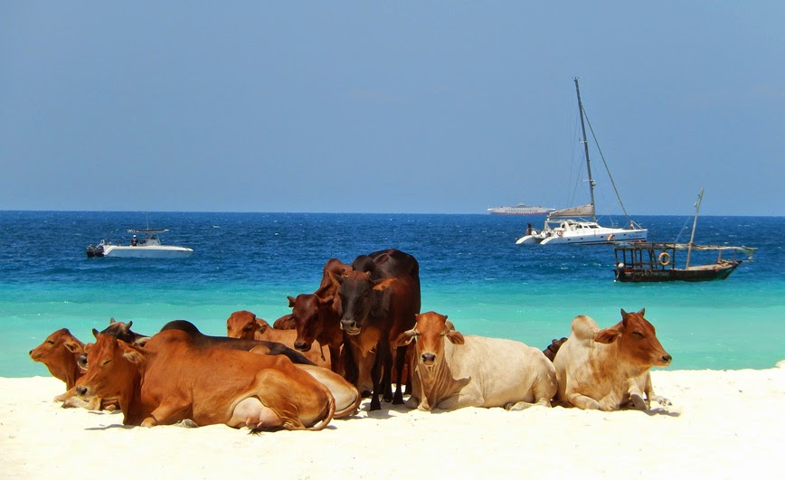 15. Cows on the Beach – Zanzibar Island, Tanzania - 27 Amazing Travel Photos That Will Infect You With The Travel Bug