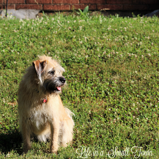 Blonde terrier mix sitting in the grass turning to the left