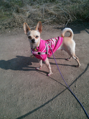 boy chihuahua in pink