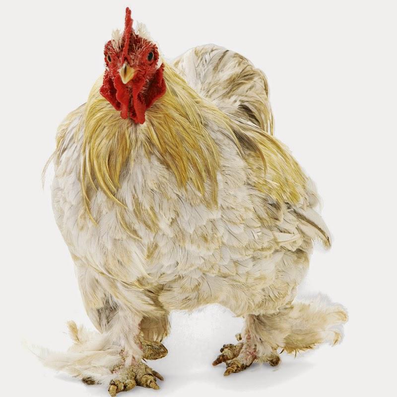 http://awakenings2012.blogspot.com/2013/04/lets-talk-chicken.html