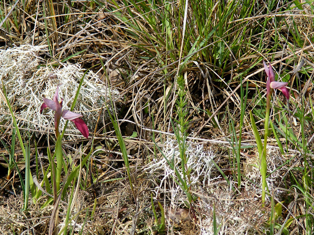 Tongue Orchid Serapias lingua in wet grassland.  Indre et Loire, France. Photographed by Susan Walter. Tour the Loire Valley with a classic car and a private guide.