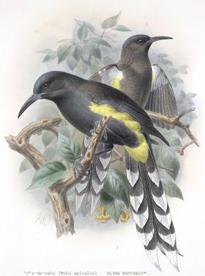 Moho-Apicalis ['O' O De Oahu (Moho apicalis)]