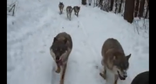 Rescued wolves in Poland recognize their rescuer in the wild (Video)