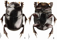 http://sciencythoughts.blogspot.co.uk/2015/05/ateuchus-cujuchi-new-species-of-scarab.html