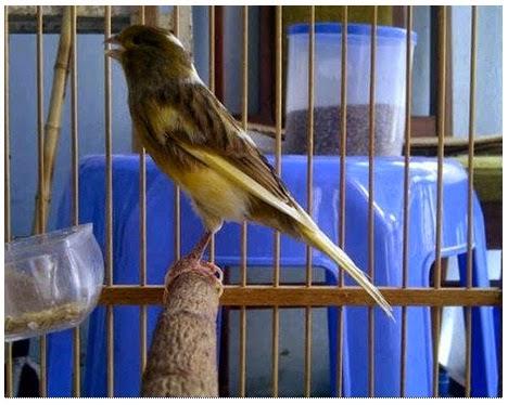 cara merawat kenari agar gacor terus burung kicau nusantara