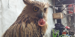 Buffy Fish Owl aka Ketupa Ketupu