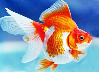 Gambar Ikan Mas Koki Termahal Jenis Mutiara