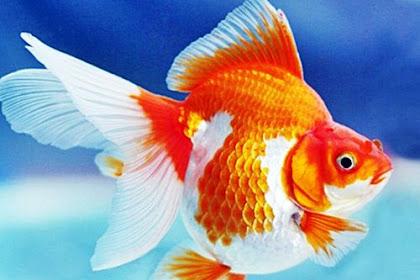Daftar Harga Ikan Mas Koki Terbaru 2019