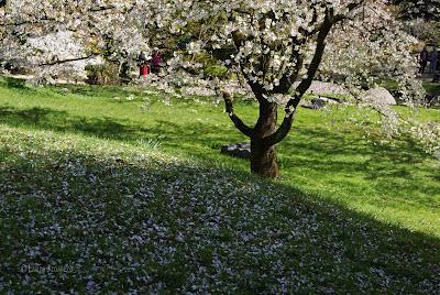 cerisiers en fleur / Musée Albert Kahn © Laura Prospero