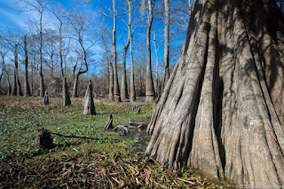 Cypress tree in the Atchafalaya Basin that is slated to be cut down along the Bayou Bridge pipeline's proposed route. [Image Credit: (c) 2018 Julie Dermansky] Click to Enlarge.