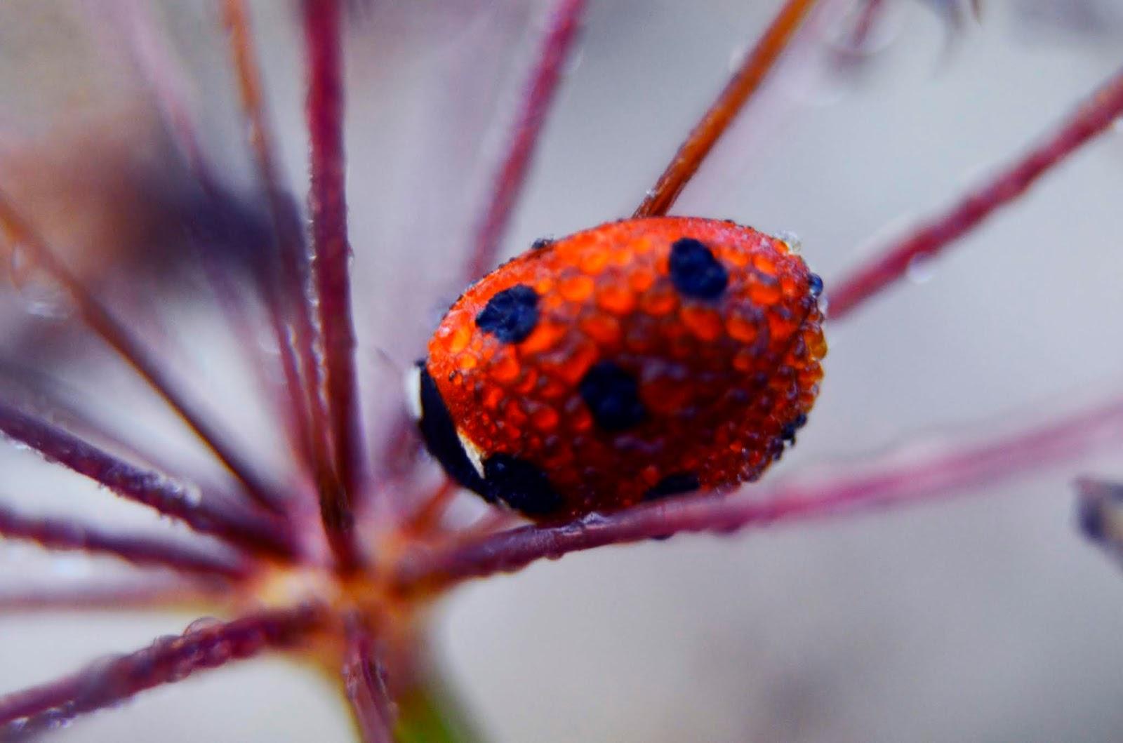 biedronka | makro | fotografia | natura | zieleń | czerwień