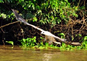 Burung Elang di Taman Nasional Way kambas