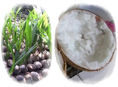 bibit kelapa kopyor | kelapa kopyor genjah | budidaya kelapa kopyor | tanam kelapa kopyor