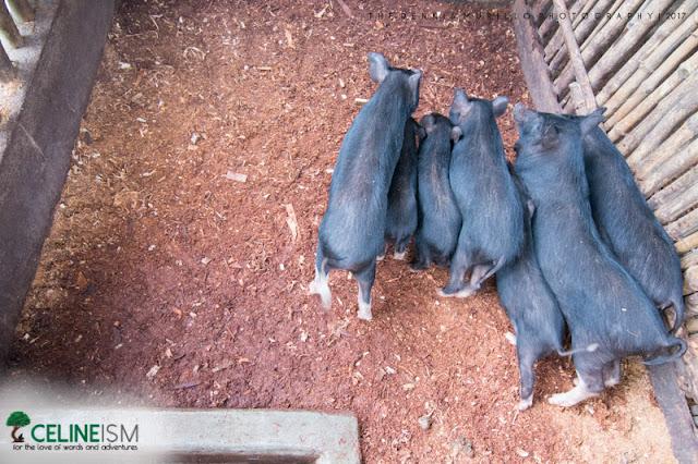 adventure farm organic pig