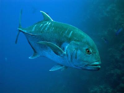 Giant Trevally Ikan Predator Air Tawar Yang Merupakan Perenang Aktif Di Akuarium