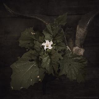 Datura Stramonium, Jimson Weed, Thorn Apple, Devil's Snare, hierba hedionda