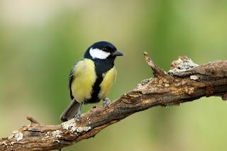 Carbonero caja nido
